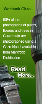 We Thank Gitzo, 90% of the photographs of plants, flowers and trees in Guatemala are photographed using a Gitzo tripod, available from Manfrotto Distribution.